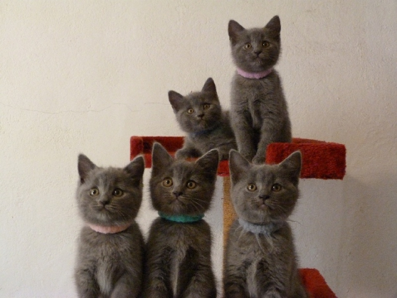 Annonce occasion, vente ou achat 'Chatons Chartreux inscrits au loof'