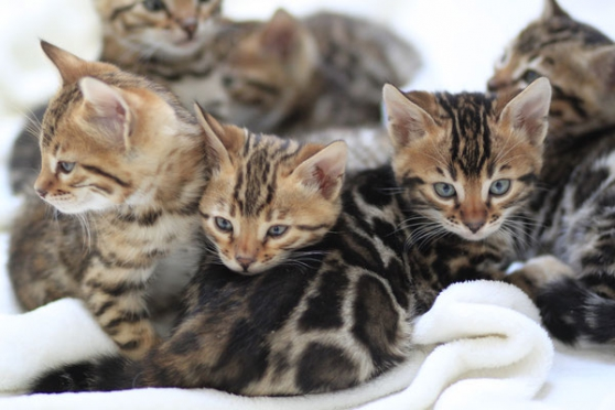 Annonce occasion, vente ou achat 'Chatons Bengal'