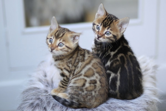 Annonce occasion, vente ou achat 'Chatons Bengal loof'