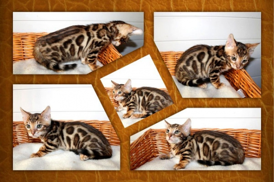 Annonce occasion, vente ou achat 'Chatons Bengal avec pedigree'