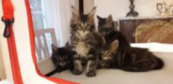 Annonce occasion, vente ou achat 'Chatons Maine coon'