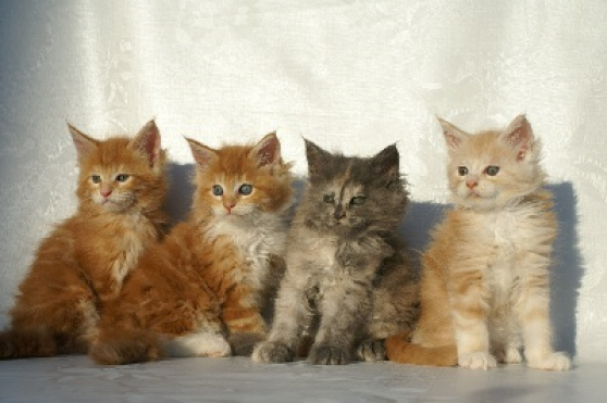 Adorables Chatons Maine coon loof