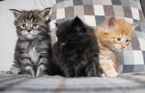 Chatons Maine coon avec pedigree