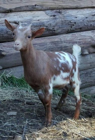 Annonce occasion, vente ou achat 'Chèvre et boucs nains'