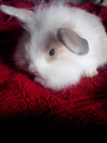 lapins nains belier angora