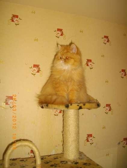 gentil chaton persan belle fourrure