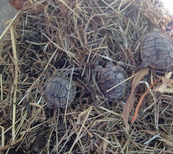 Annonce occasion, vente ou achat 'bébé tortue greca'