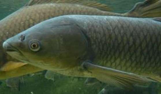 Carpe herbivore dite amour blanc animaux poissons for Vente grosse carpe