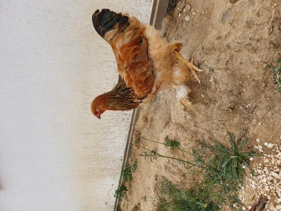 Vends Coq Brahama 6 mois magnifique