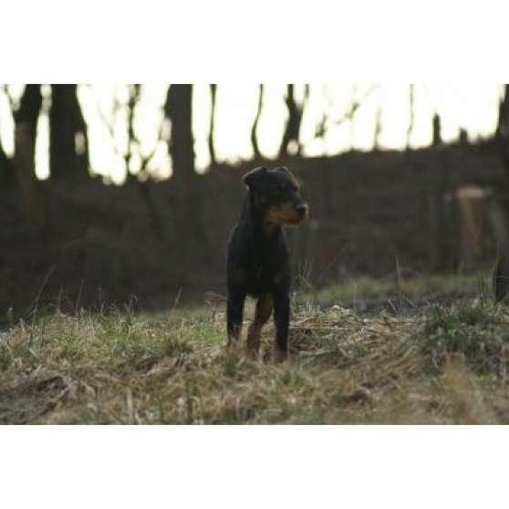 Jagd Terrier male pour saillie - Photo 2