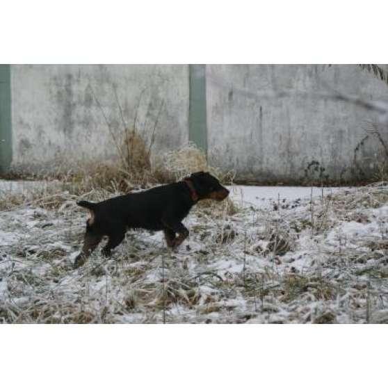 Jagd Terrier male pour saillie - Photo 3