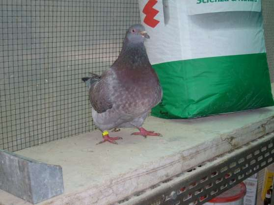 vends pigeons TEXANS Italien et Francais