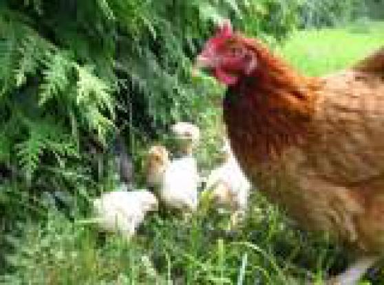 Recherchez vente ou occasion animaux annonce gratuite - Poule pondeuse a donner ...