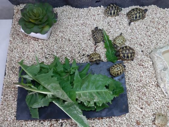 Annonce occasion, vente ou achat 'jeunes tortues de terre hermann'