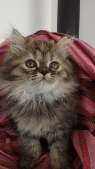 chatons type persan