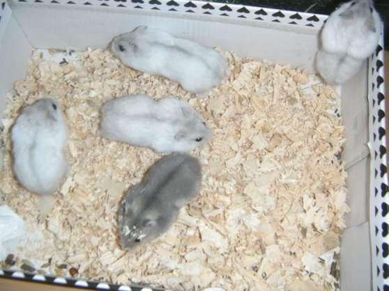 dispo bébé hamster russe et doré