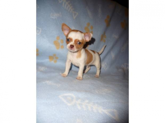 Annonce occasion, vente ou achat 'super chiots chihuahua'