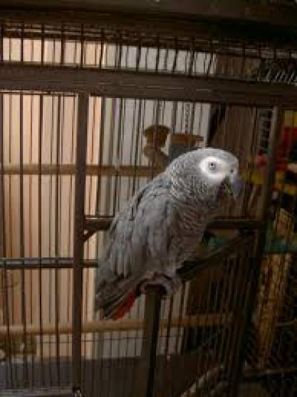 Annonce occasion, vente ou achat 'perroquet gris du gabon à saisir'