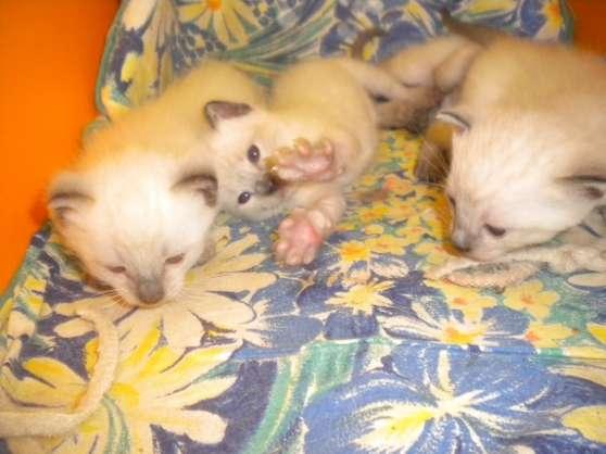 chatons siamois