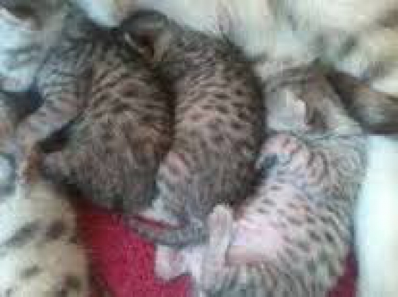 5 Chatons mau egyptien non loof
