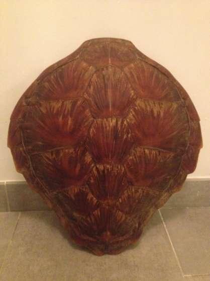 carapace de tortue de mer ajaccio antiquit art. Black Bedroom Furniture Sets. Home Design Ideas