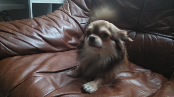 Chihuahua cherche femelle pour saillies