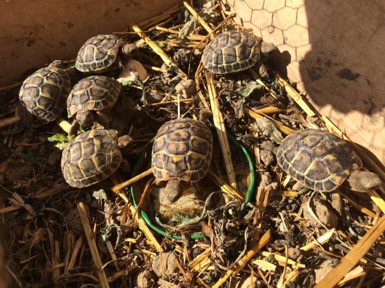 vend bébés tortues hermann nées été 2018 - Annonce gratuite marche.fr