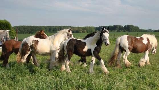 irish cob gyspy cob vendre animaux chevaux belgique louvain reference ani che iri. Black Bedroom Furniture Sets. Home Design Ideas