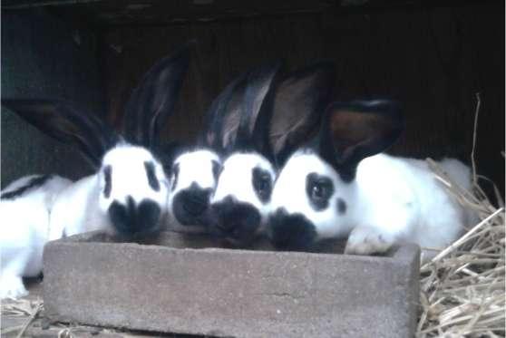 vends lapins Géant Papillon Francais