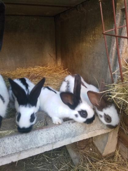 Annonce occasion, vente ou achat 'Jeunes lapins'