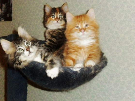 Annonce occasion, vente ou achat 'Chatons maine coon inscrits au loof'
