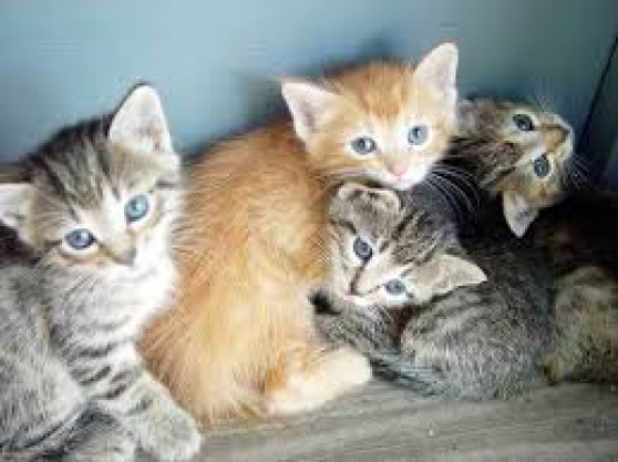 Annonce occasion, vente ou achat 'Chatons maine coon loof'