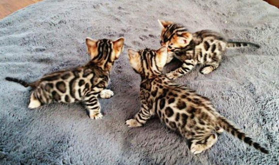 Annonce occasion, vente ou achat 'Chatons bengal inscrits au loof'