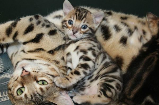 Annonce occasion, vente ou achat 'Adorables Chatons bengal loof'