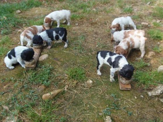 Annonce occasion, vente ou achat 'Chiots epagneul breton inscrits au lof'