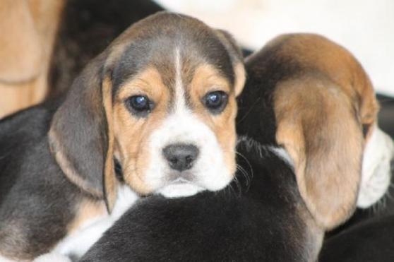 Annonce occasion, vente ou achat 'Chiots beagle'