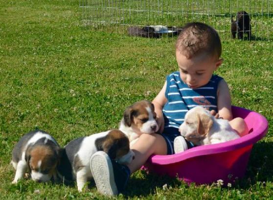 Annonce occasion, vente ou achat 'Chiots beagle inscrits au lof'