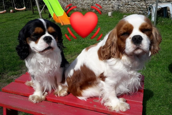 Annonce occasion, vente ou achat 'Chiots cavalier king charles'