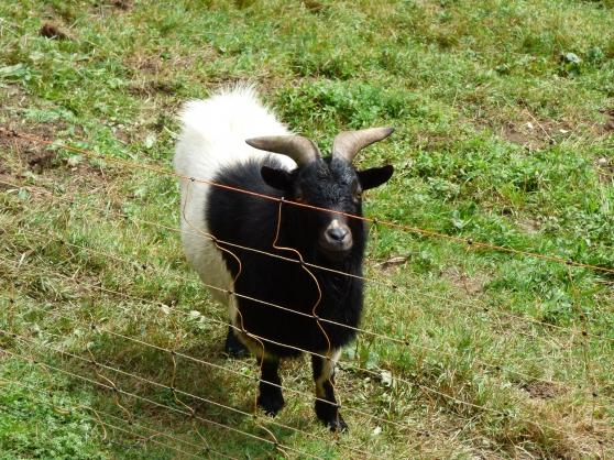 chèvre naine (bouc)