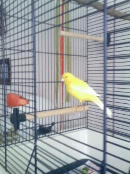 Vends canari mâle chanteur