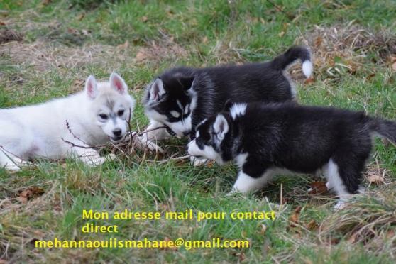 3 Disponibles Magnifique Chiots Husky