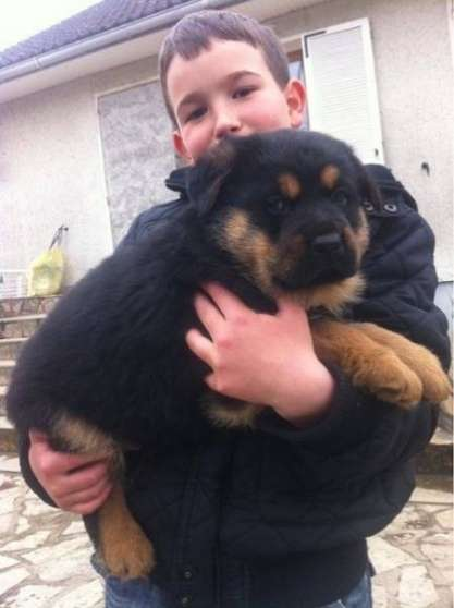 Adorable Chiot Male Berger Allemand