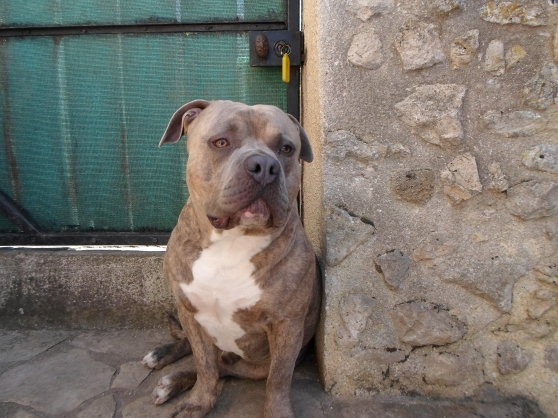 Annonce occasion, vente ou achat 'american bully'
