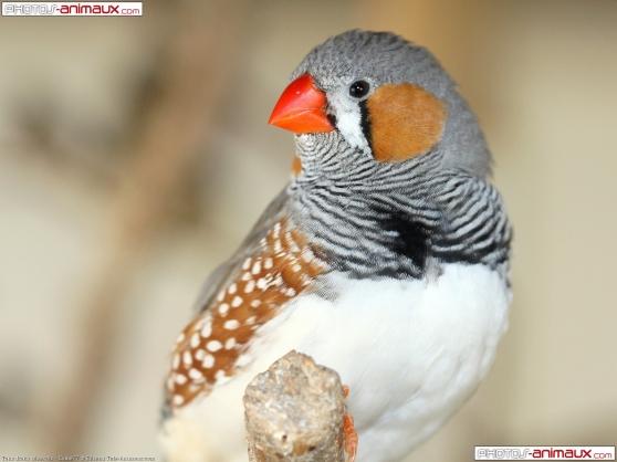 plusieurs oiseaux mandarin