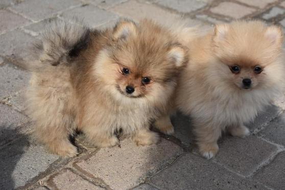 Adorables Chiots spitz nain lof