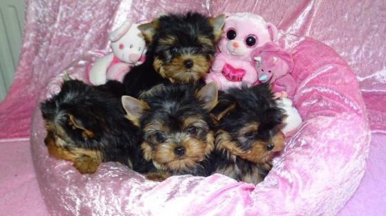 Annonce occasion, vente ou achat 'Chiots yorkshire'