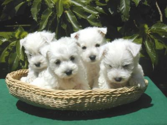 Chiots westie lof disponibles