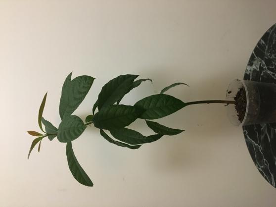 Avocatier Bio Tropical
