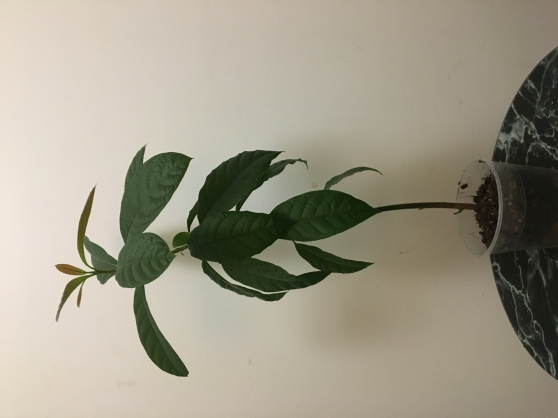 Annonce occasion, vente ou achat 'Avocatier Bio Tropical'