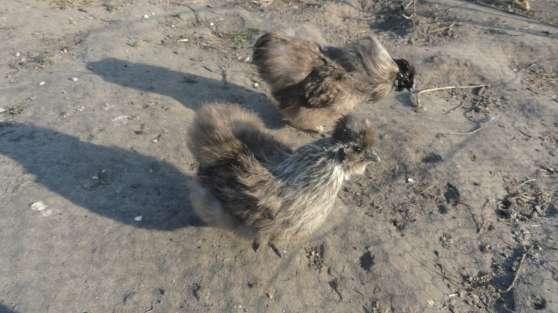 oeuf fécondé poule soie toute couleur - Photo 3